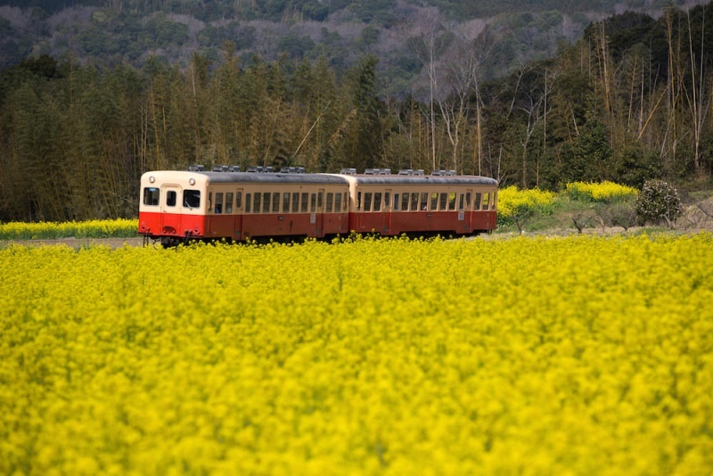 Canola garden in Chiba through April and May