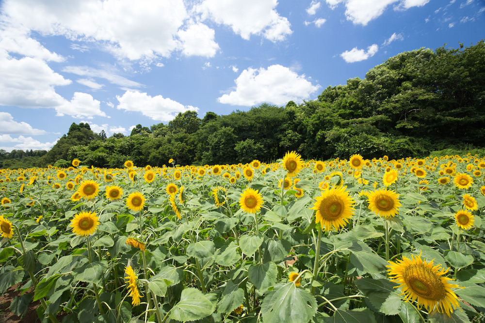 Sunflower blooming everywhere in Kimita, Hiroshima during summer time