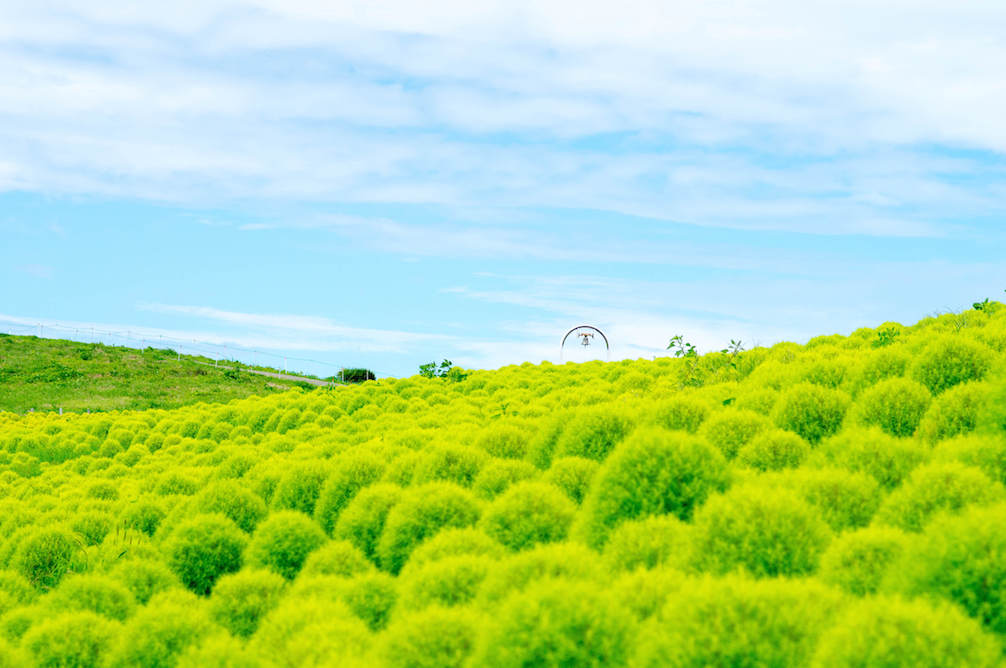 Green Kokia everywhere in Hitachi Seaside Park during summer time in Ibaraki, Japan