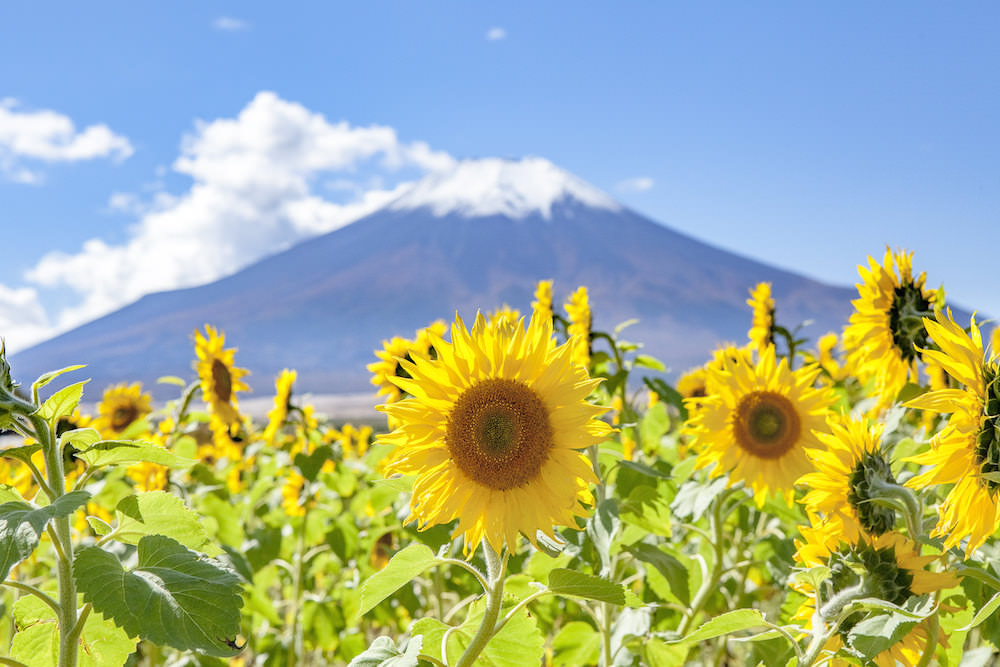 Sunflower blooming in Oshino, Yamanashi during summer time with Mt. Fuji in the background