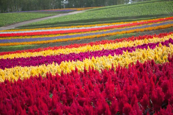 Colorful flower garden in Biei, Hokkaido