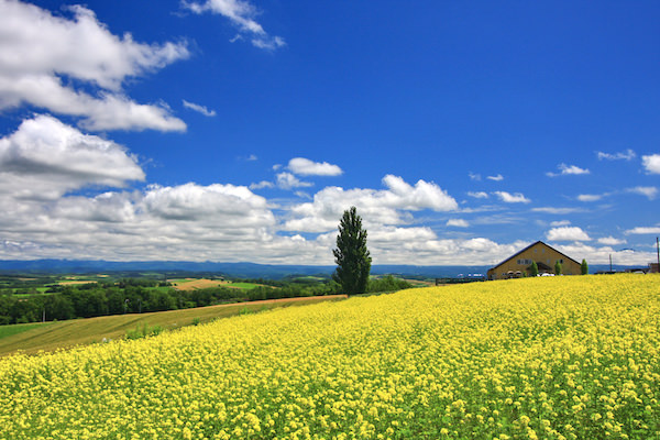 A beautiful yellow canola flower bed in blue sky in Biei, Hokkaido