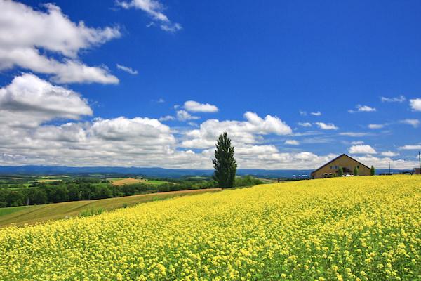 A beautiful yellow canola flower bed in blue sky in Biei, Hokkaido