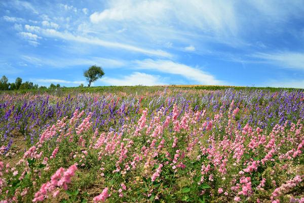 Flower garden and blue sky in Biei, Hokkaido