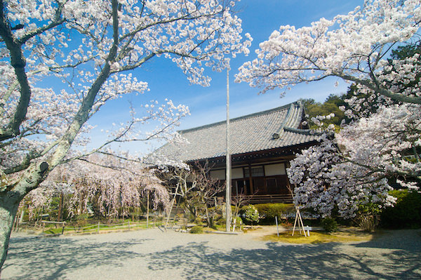 Bishamondo in Kyoto during cherry blossom season