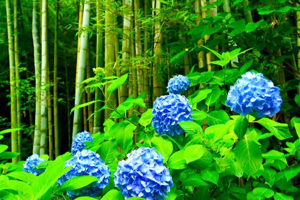 Hydrangea blooming in Kamakura in Summer