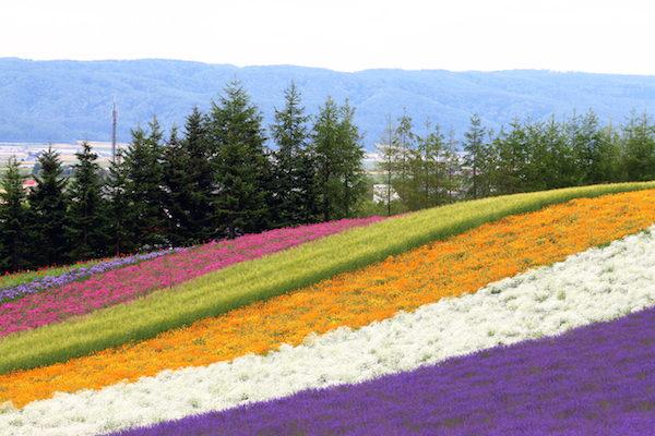 A beautiful flower bed in Furano, Hokkaido