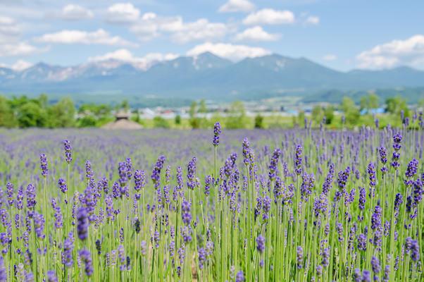 Lavender garden in Furano, Hokkaido with mountains of Hokkaido in the background