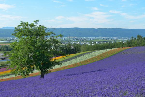 Purple lavender garden in Furano, Hokkaido