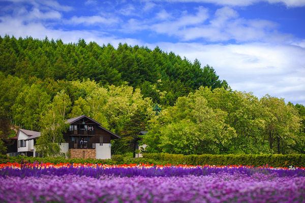 Lavender garden with blue sky in Furano, Hokkaido