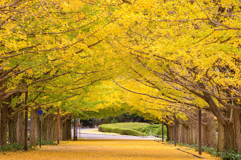 Beautiful yellow ginkyo tree and its leaves making a yellow carpet