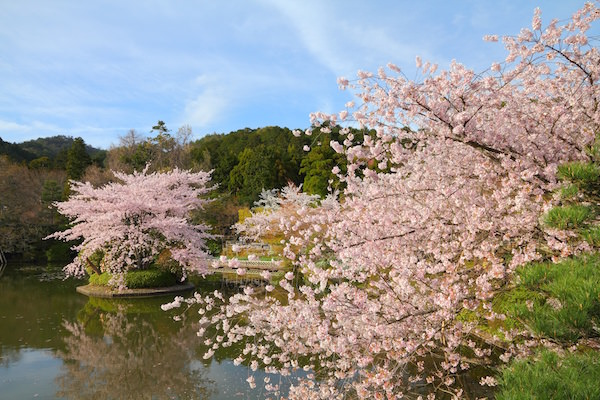 Cherry blossom in Kitano shrine in Kyoto