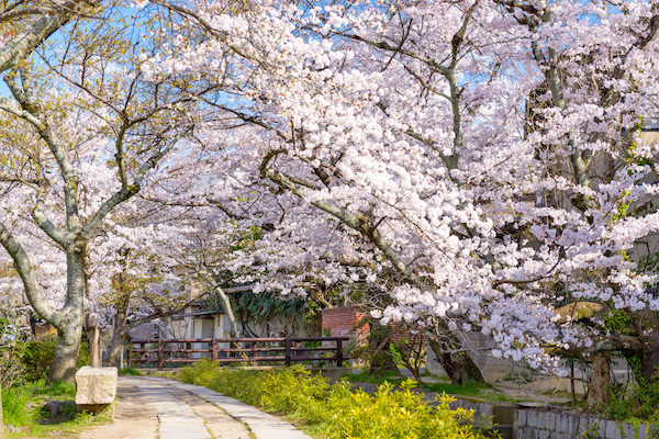 Philosopher's path with cherry blossoms in full bloom