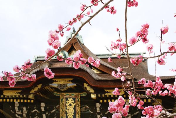 Plum tree in Kitano shrine in Kyoto