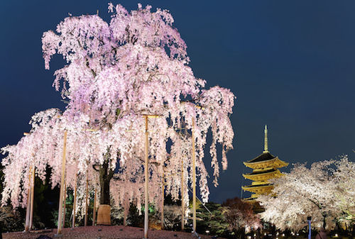 Toji temple with cherry blossoms