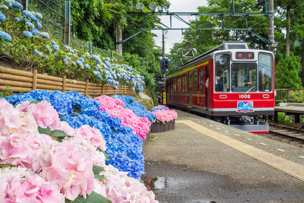 Hakone railway during hydrangea season