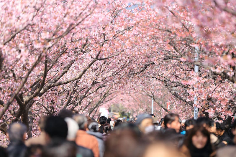 Tunnel of cherry blossom during ohanami season