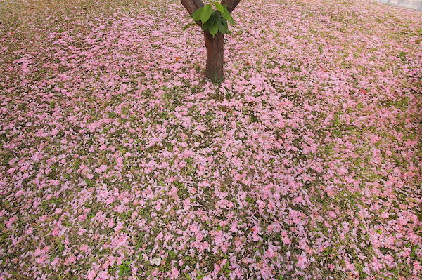 Kyoto botanical garden with cherry blossom petals creating pink carpet in the park
