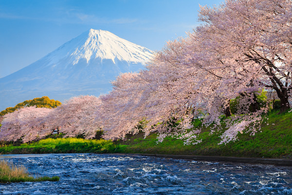 Cherry blossom blooming over the river with mt. fuji in the background
