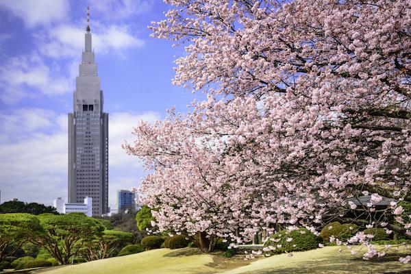 Cherry blossom in Shinjuku Gyoen park