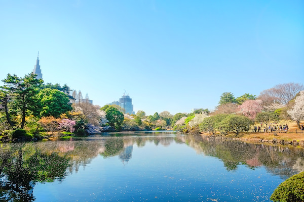 Shinjuku Gyoen park during cherry blossom season
