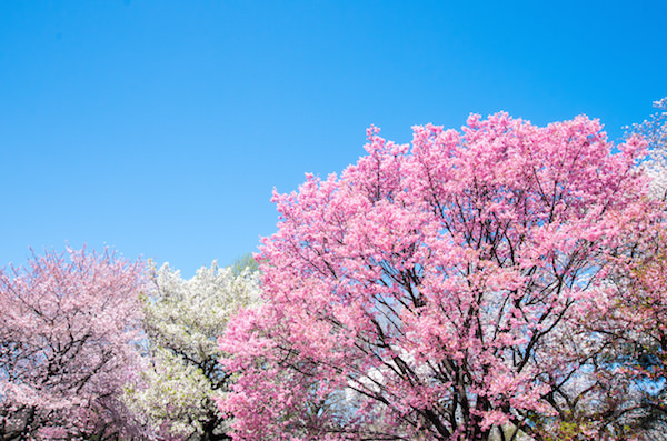 Beautiful cherry blossoms blooming in Shinjuku Gyoen park in Sprin