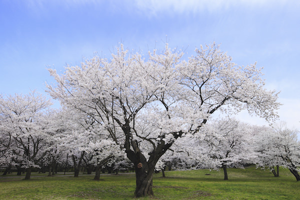 Cherry blossoms fully blooming in Showa Memorial park in Tokyo