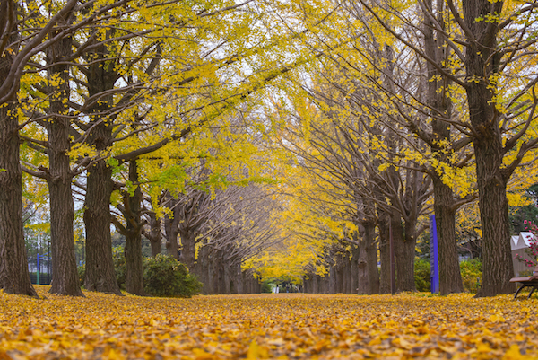 Rows of Ginkyo trees in Showa Memorial park in Autumn