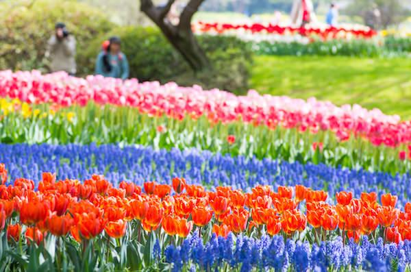 Tulips and lavenders blooming in Showa Memorial park