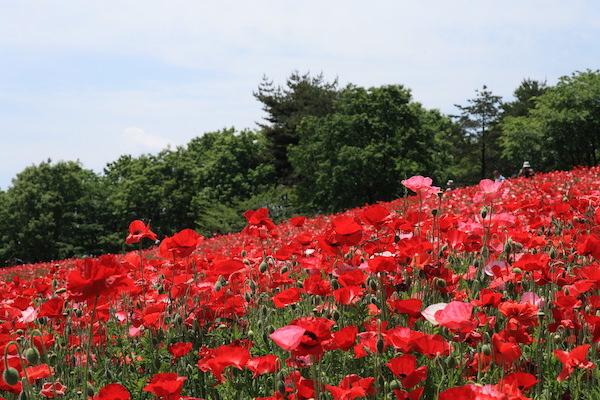 Poppy blooming in Showa Memorial Park in Tokyo