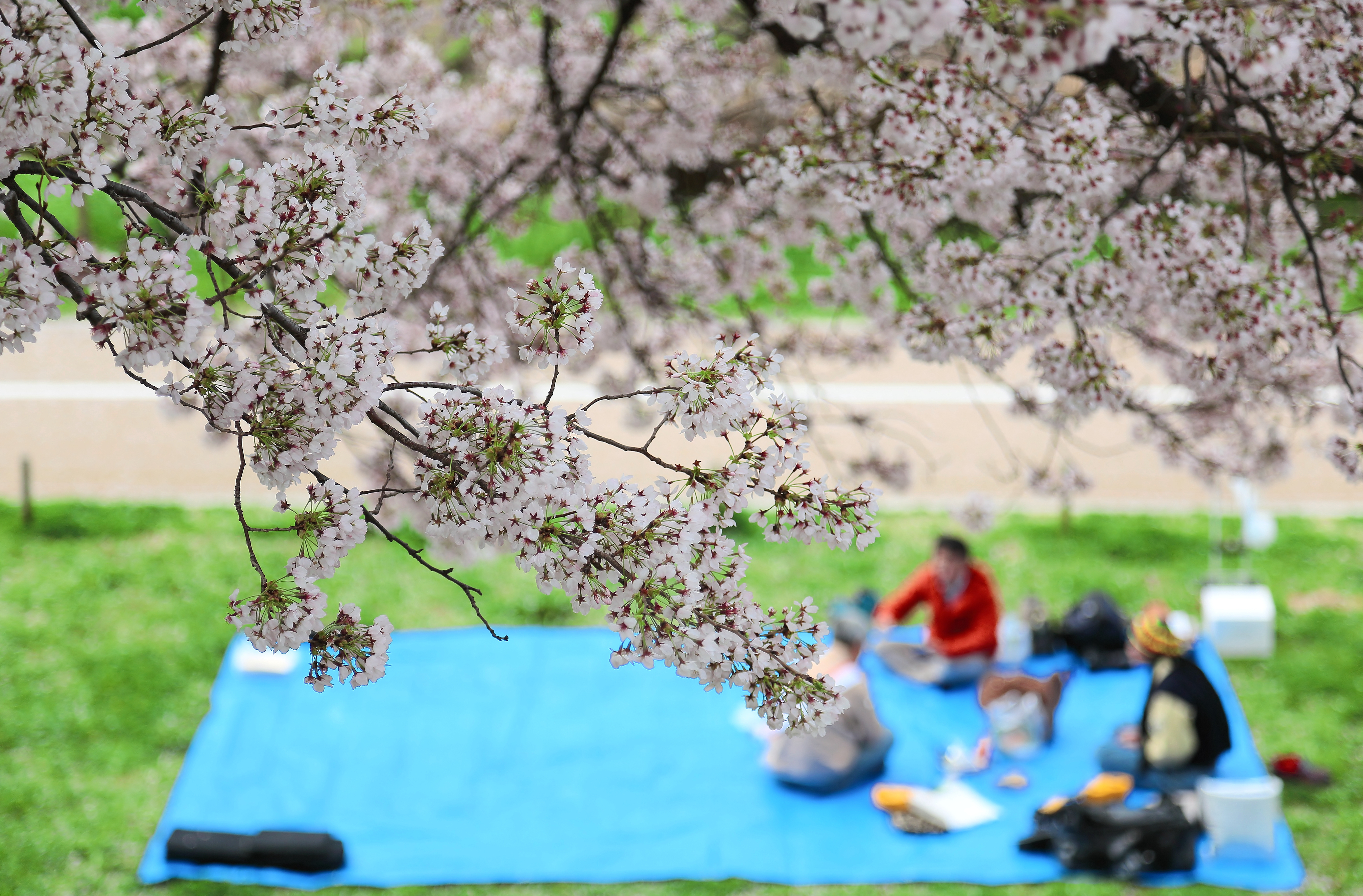 Group of people enjoyoing ohanami cherry blossom viewing during spring time