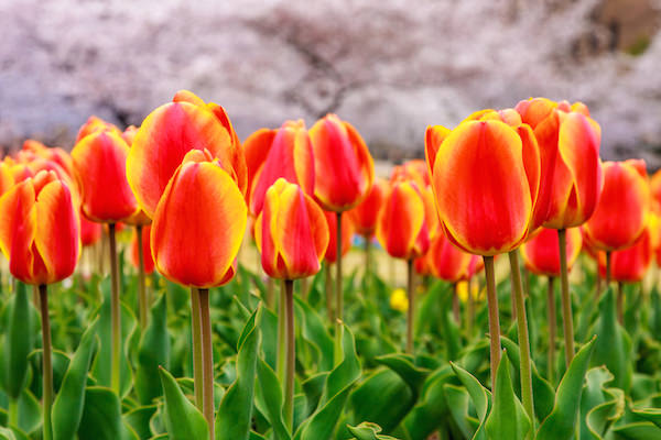Tulip garden in Kyoto botanical garden during cherry blossom season