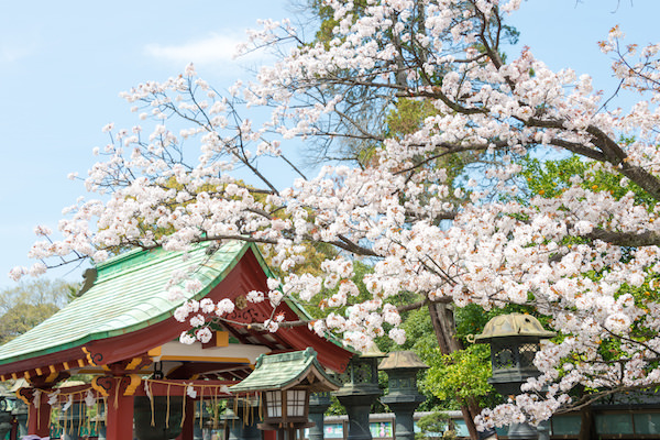 Cherry blossom in Ueno park in Spring