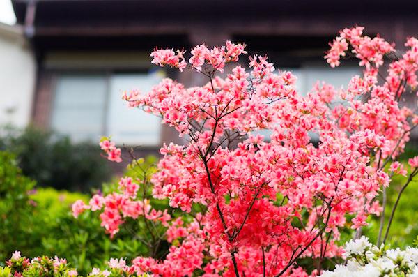 Flower blooming in Yanaka, Tokyo