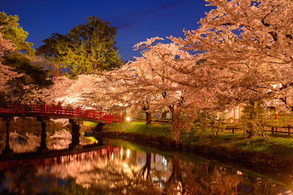 Cherry blossom yozakura light up