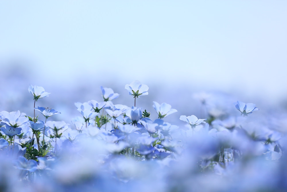nemophila flowers in Hitachi seaside park