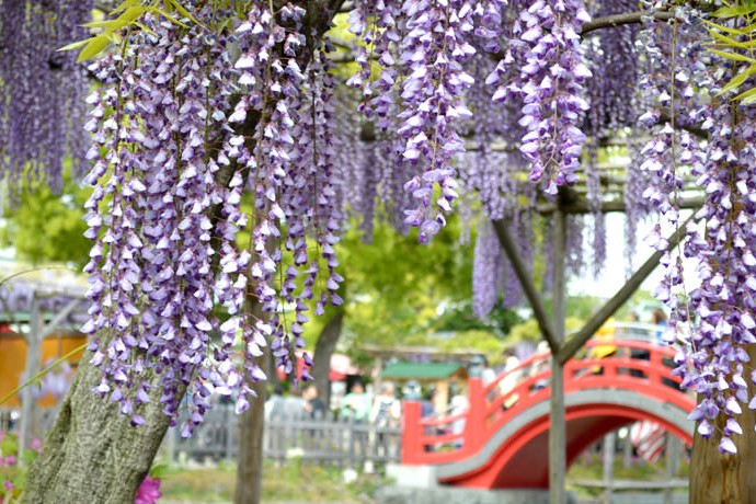 Wisteria festival in Kameidoten Shrine in Tokyo