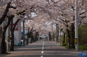 A beautiful tunnel of cherry blossom in Sakuragaoka dori in Hakodate