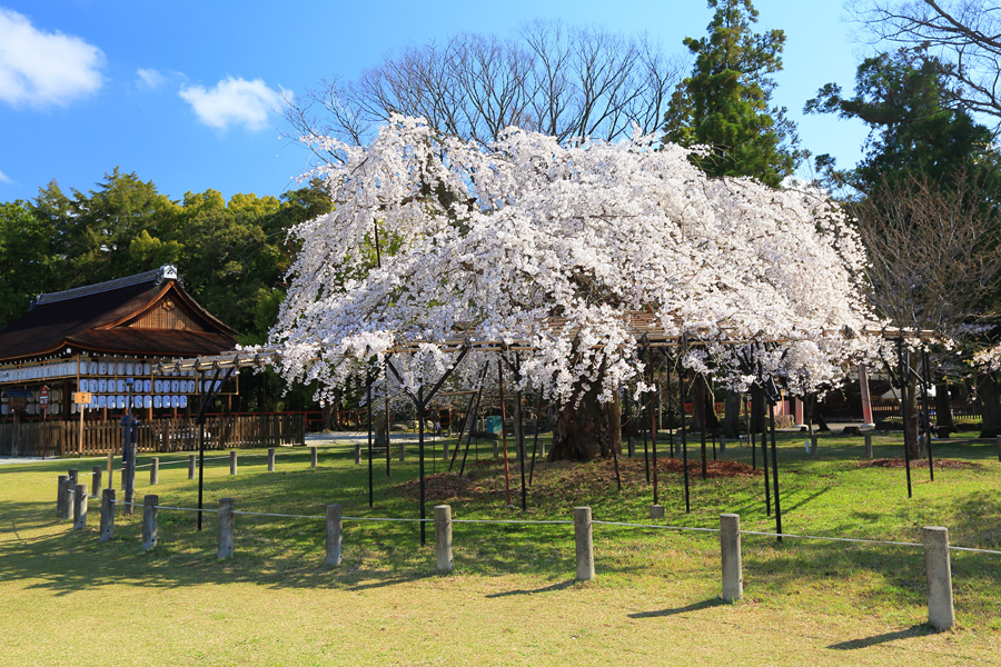One of latest cherry blossom in Kyoto 2016 April