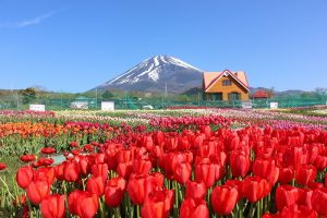 Tulip flowers and mt. fuji