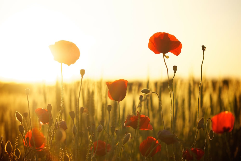 Poppy field during sunset