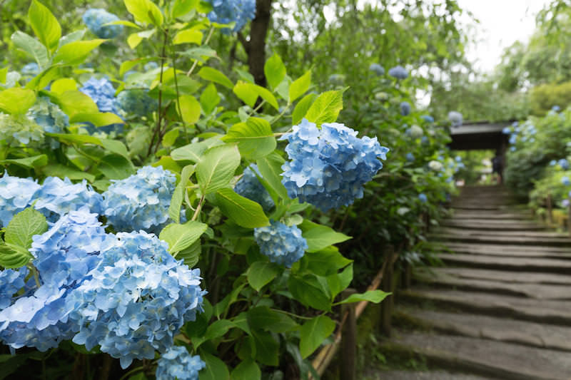 Hydrangea in Kamakura during summer time