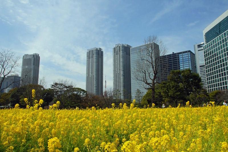 Hamarikyu garden in Tokyo during canola flower season in Spring